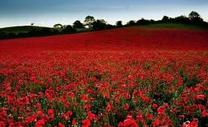 poppy-fields-remembrance-day-1
