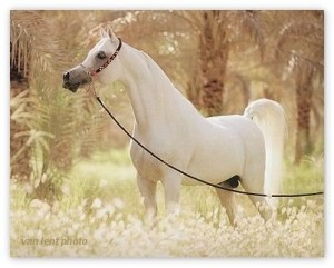 Purebred Arabian stallion - note the perfect conformation: dish face, strong graceful neck, low withers, short back, smooth muscles, high tail - a true equine king!