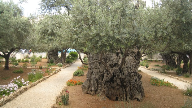 garden of ges ancient olive trees