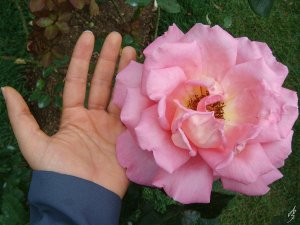 giant_pink_rose_by_zazi_chan