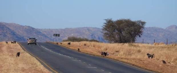Namibia_ baboons6503_20140808_Waterberg_BaboonsOnRoad_web
