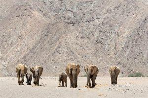 desert_elephants