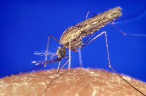 anopheles_gambiae_mosquito_feeding_1354-p_lores